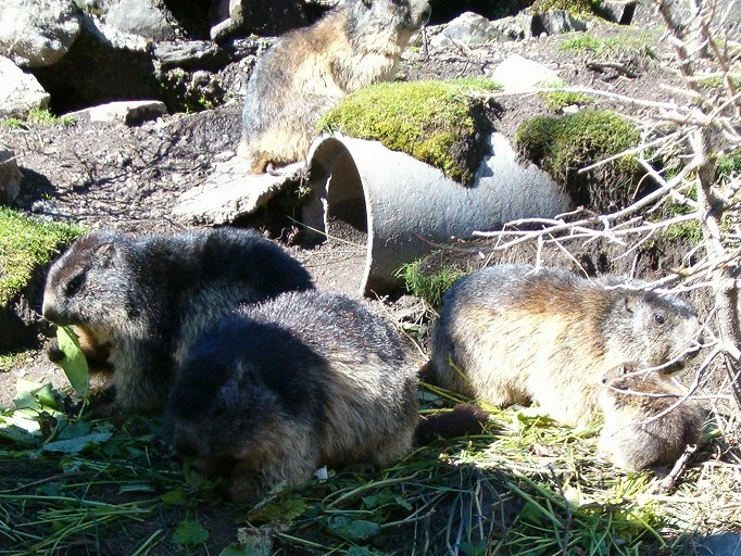 Marmot family on Grimsel pass